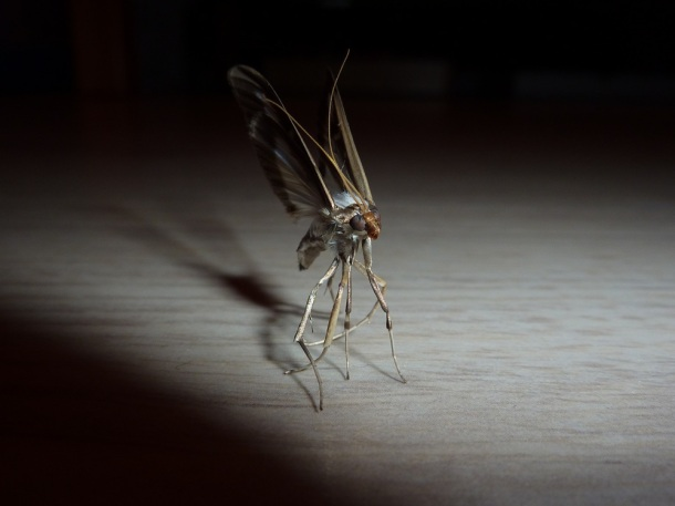 papillon-de-nuit-
